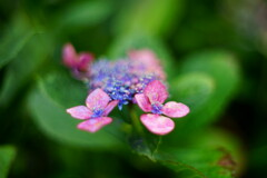 額紫陽花とオールドレンズ