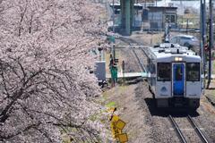 沿線の桜並木