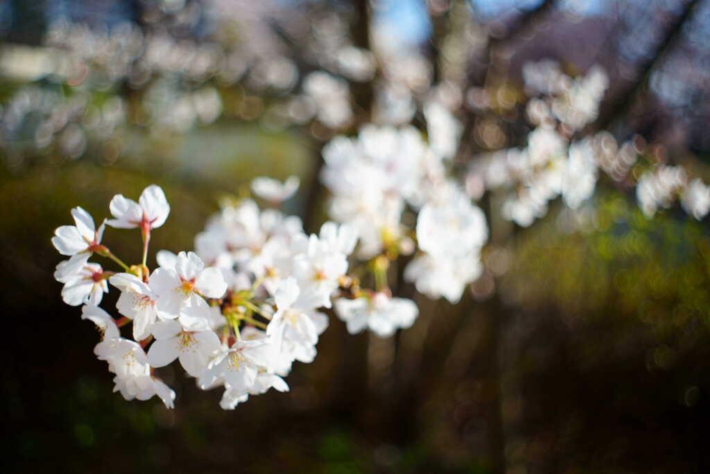 Flektogonの桜