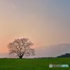 日暮れの一本桜