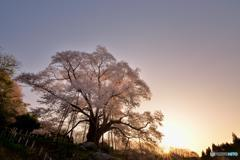 山桜と朝陽