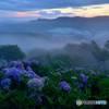 朝霧紫陽花