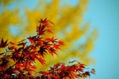団地の紅葉