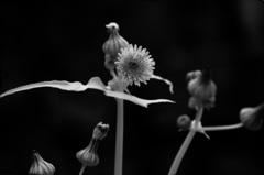 野菊の一種
