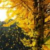 銀杏の落葉 1