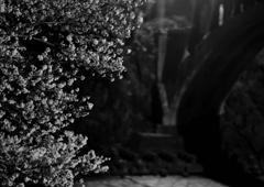 坂戸橋の桜_02