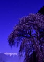 吉瀬の桜_月光