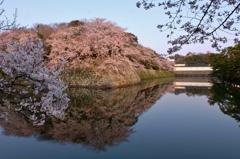 彦根城濠端桜花