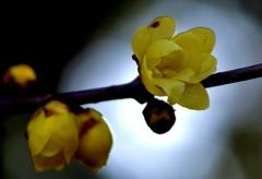 Wax plum(蠟梅)