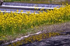映る菜の花