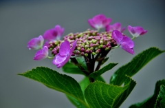 我が家の花 紫陽花 Ⅴ