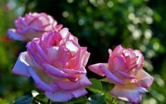 しとやか(Pink Rose)