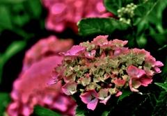 育む紫陽花