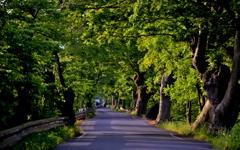 新緑の芹川ケヤキ並木
