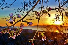 弥生の夕桜