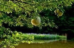 平池の不思木