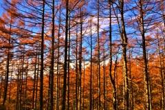 晩秋のカラマツ林