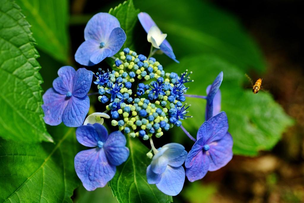 青額紫陽花