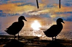 水鳥の朝 4-4
