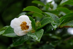 梅雨の夏椿