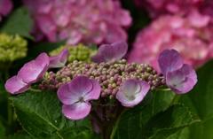 我が家の花 紫陽花 Ⅵ