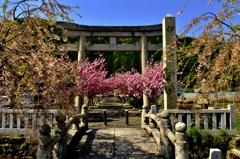 伊香具神社鳥居桜
