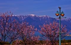 湖国の春・早咲き桜と残雪の比良