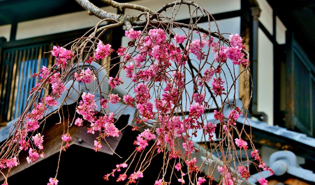 町屋しだれ桜