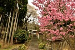 酒波寺参道石段春景