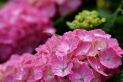我が家の花 紫陽花 Ⅶ