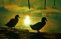 水鳥の朝 4-1
