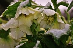 我が家の春雪花 Ⅳ
