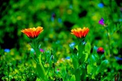 野辺に咲くキンセンカ