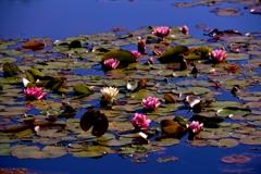 水面の花々