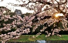 彦根城桜光