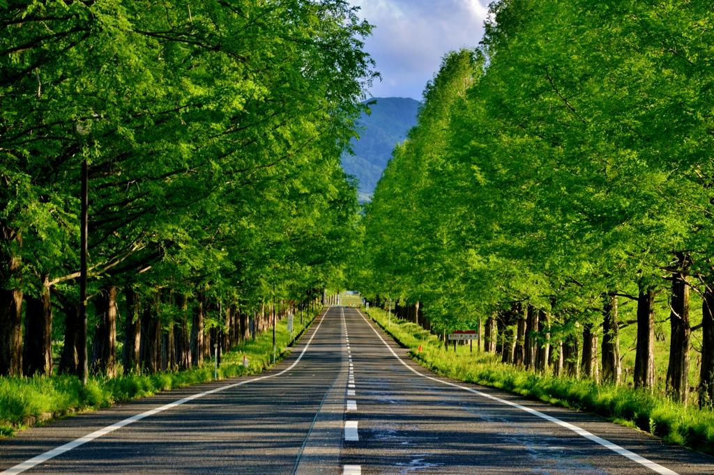 新緑のマキノメタセコイア並木道 Ⅳ