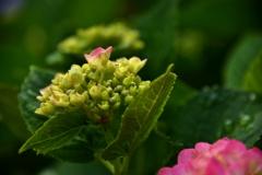 我が家の花 紫陽花 Ⅱ