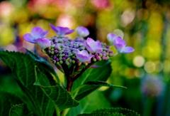 我が家の花 紫陽花 Ⅳ