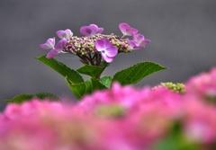 我が家の花 紫陽花 Ⅲ