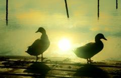 水鳥の朝 4-3
