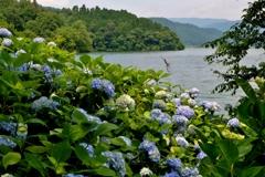 余呉湖アジサイ園 4