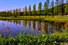 マキノメタセコイア並木道春景色
