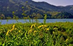 余呉湖のサワオグルマ
