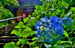 二天門の梅雨花