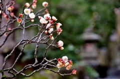 香る白梅に春の足音