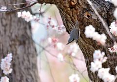 春コレ*ゴジュウカラ