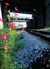It blooms along the railroad -Ⅱ-