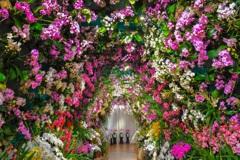 胡蝶蘭のトンネル