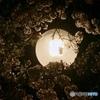 夜桜の・・・
