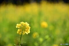 幸せの黄色い・・・